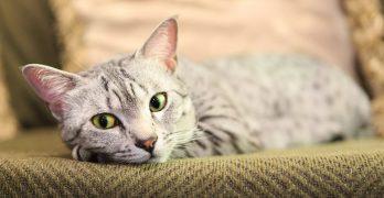 metacam for cats