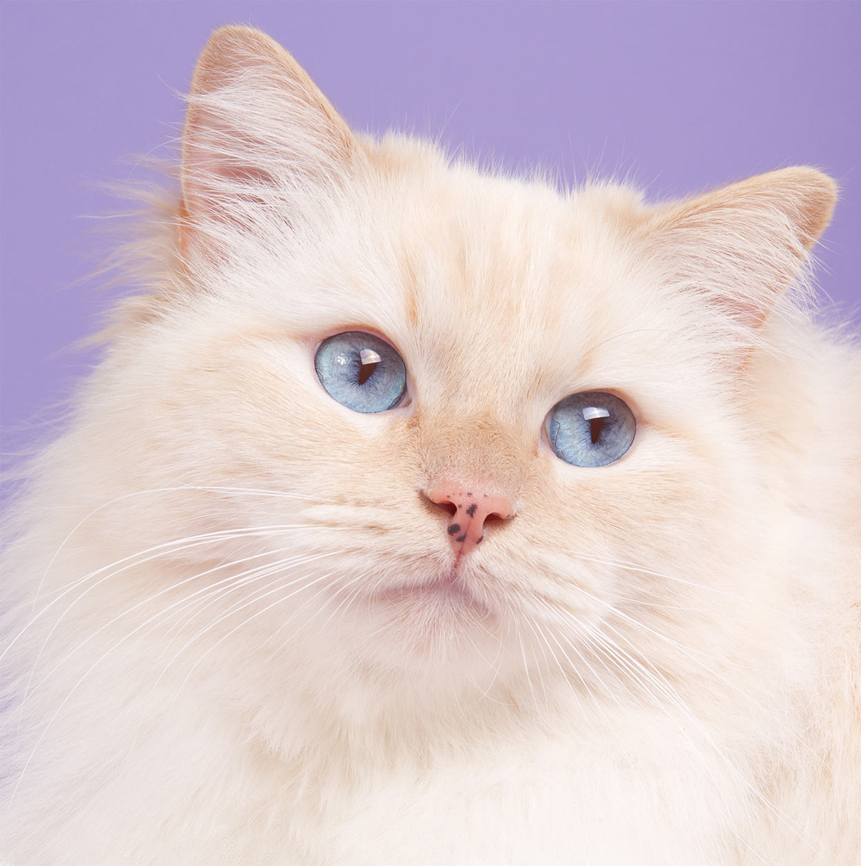 230 Ragdoll Cat Names - Great Ideas For Naming Your Ragdoll Kitten