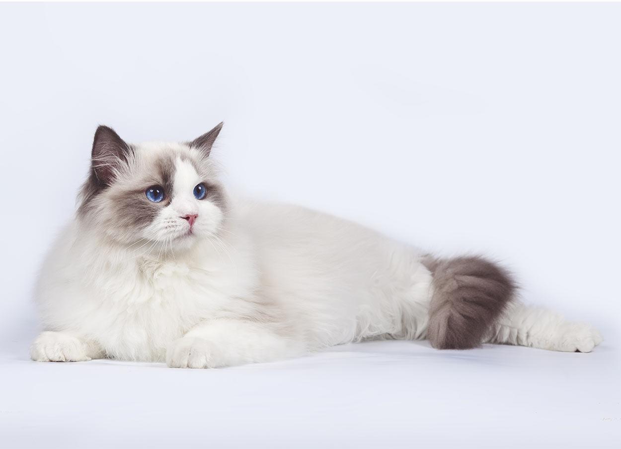 ragdoll cat names