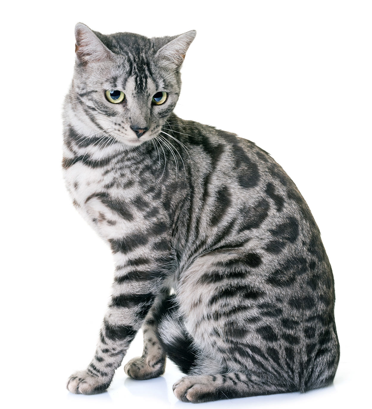 Bengal Cat Names - 200 Ideas For Naming Your Kitten