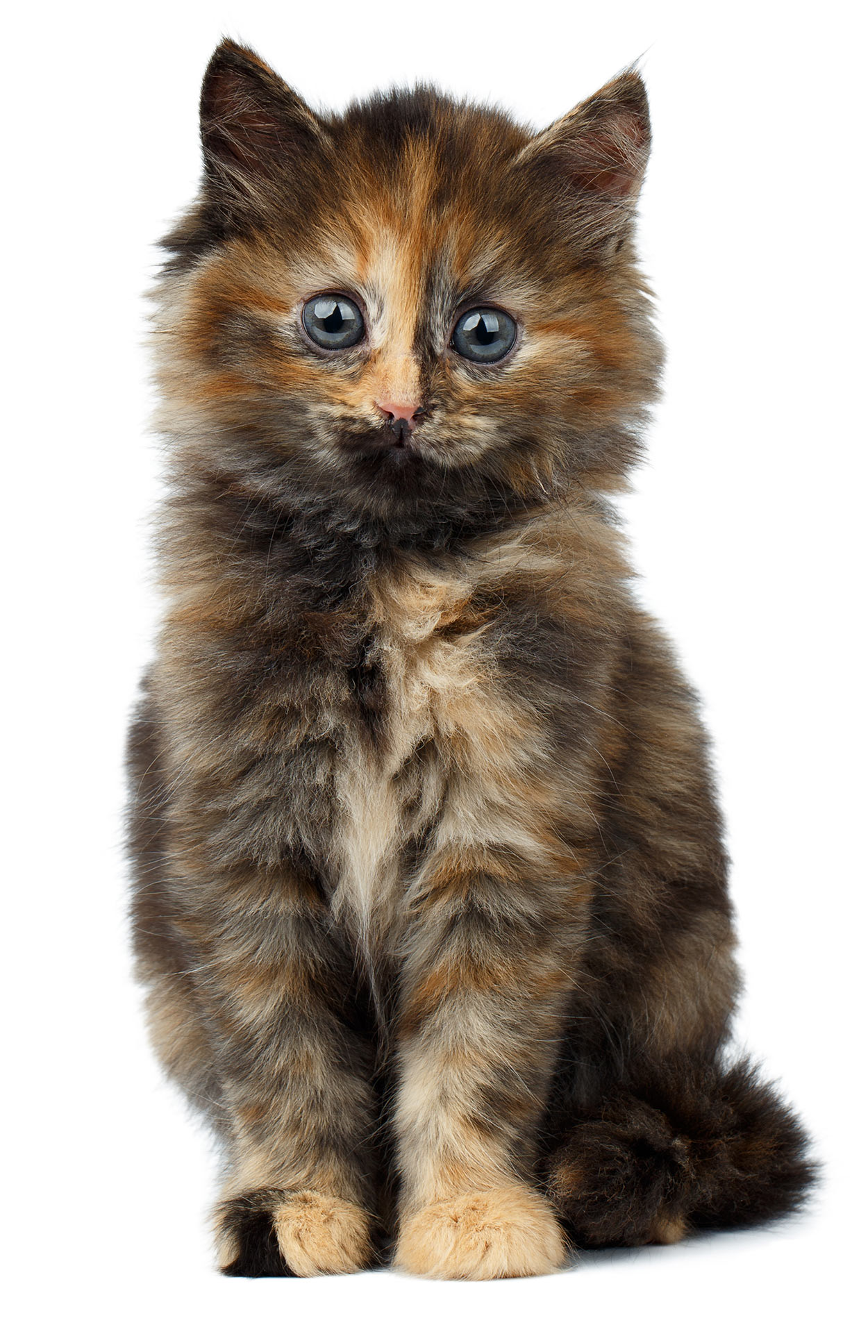 Tortoiseshell Cat: Over 30 Fascinating Facts About Tortie Cats