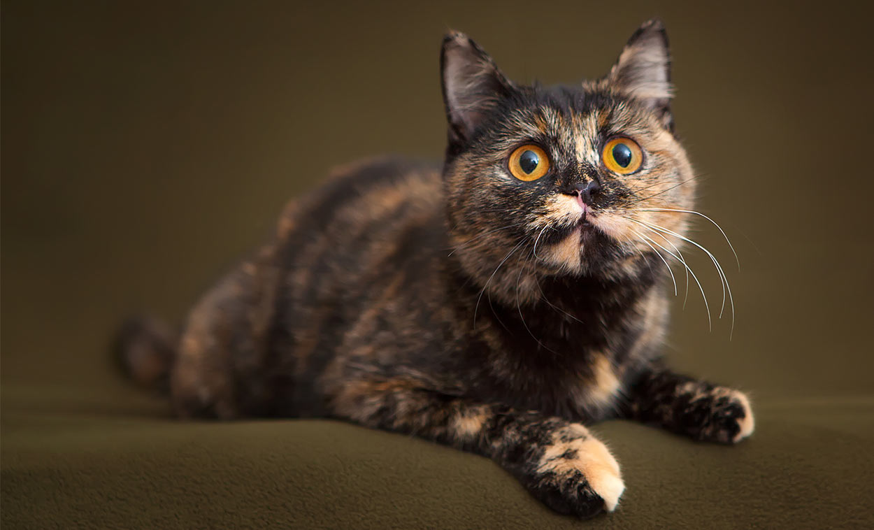 210 Terrific Tortoiseshell Cat Names Unique Cute And Fun Ideas