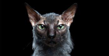 Werewolf Cat