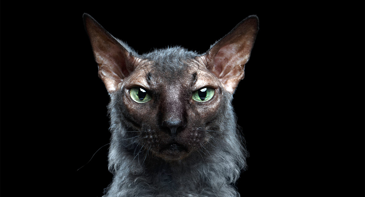 Werewolf Cat - The Lykoi Breed