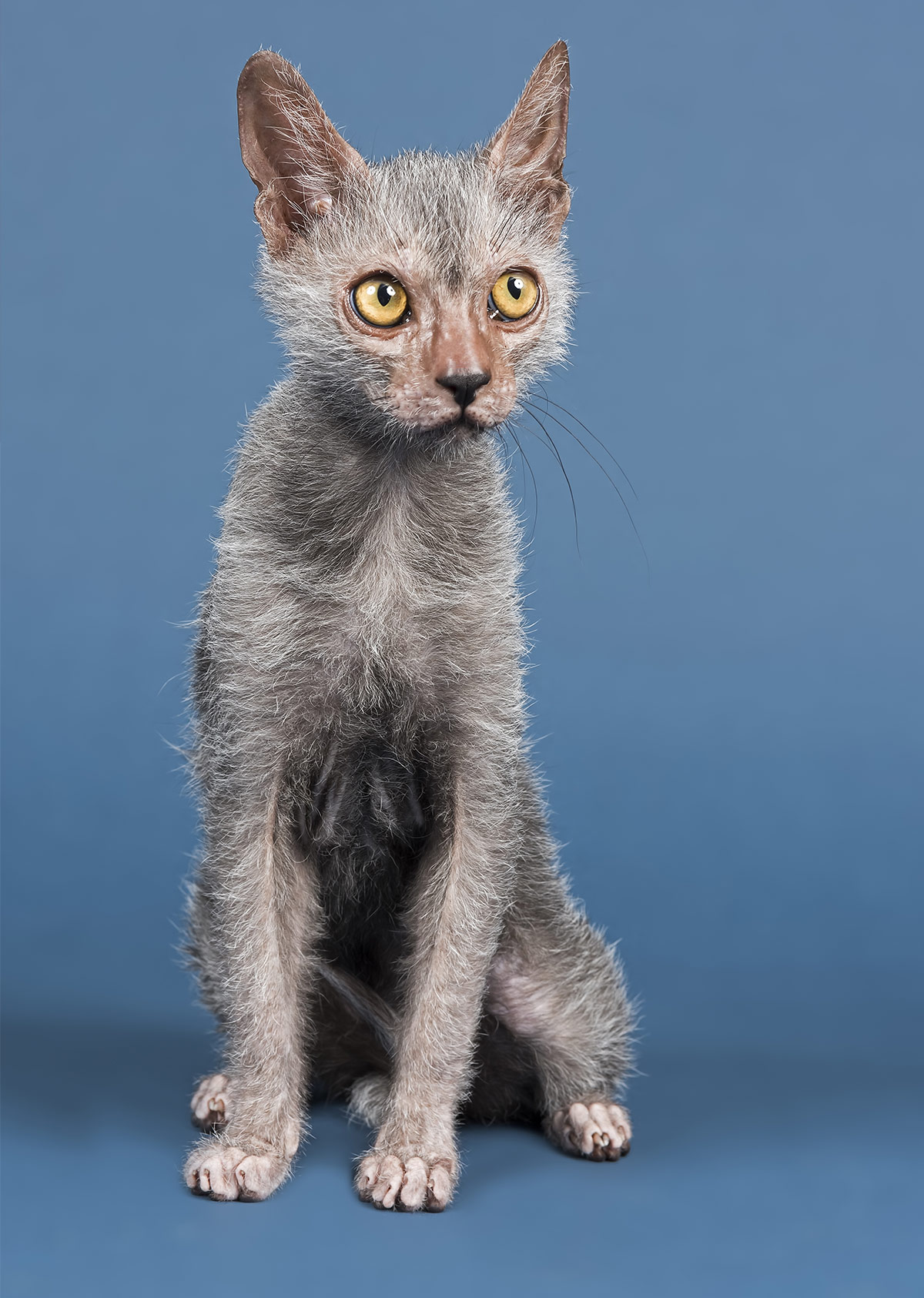 Werewolf Kitten - The Lykoi Breed