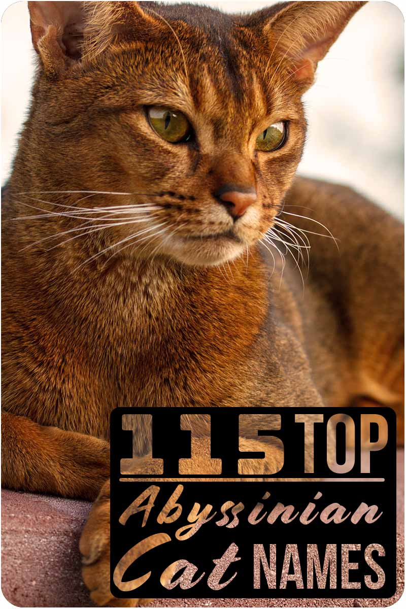 115 top Abyssinian cat names - Great names for your cat.