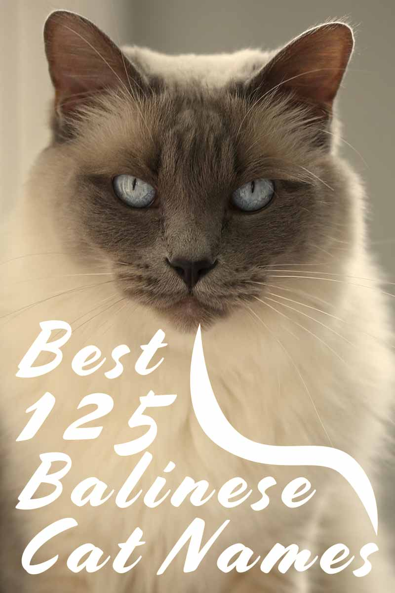 Best 125 Balinese Cat Names - Naming your cat.