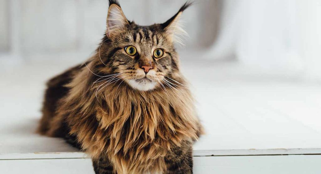 Maine Coon Cat Information Center A Guide To The Giant Cat Breed
