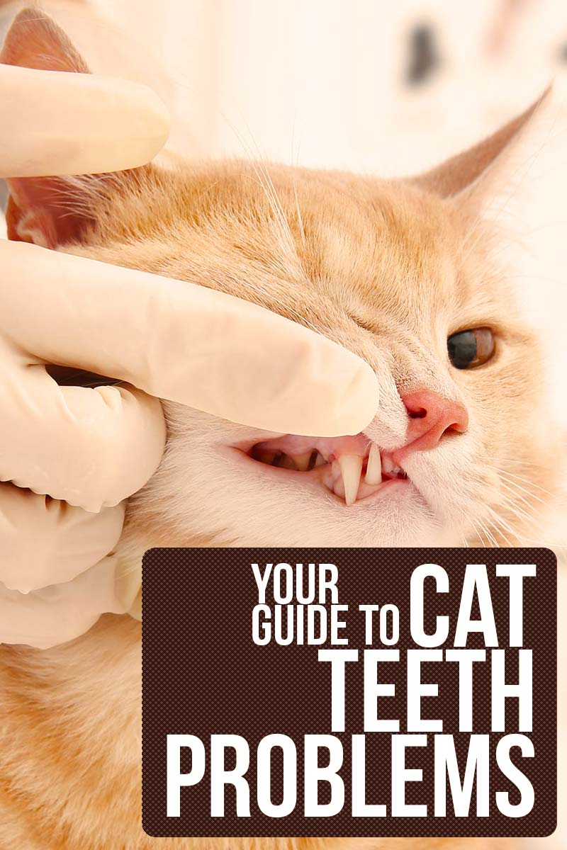Your complete guide to cat teeth problems - Cat health and care info.