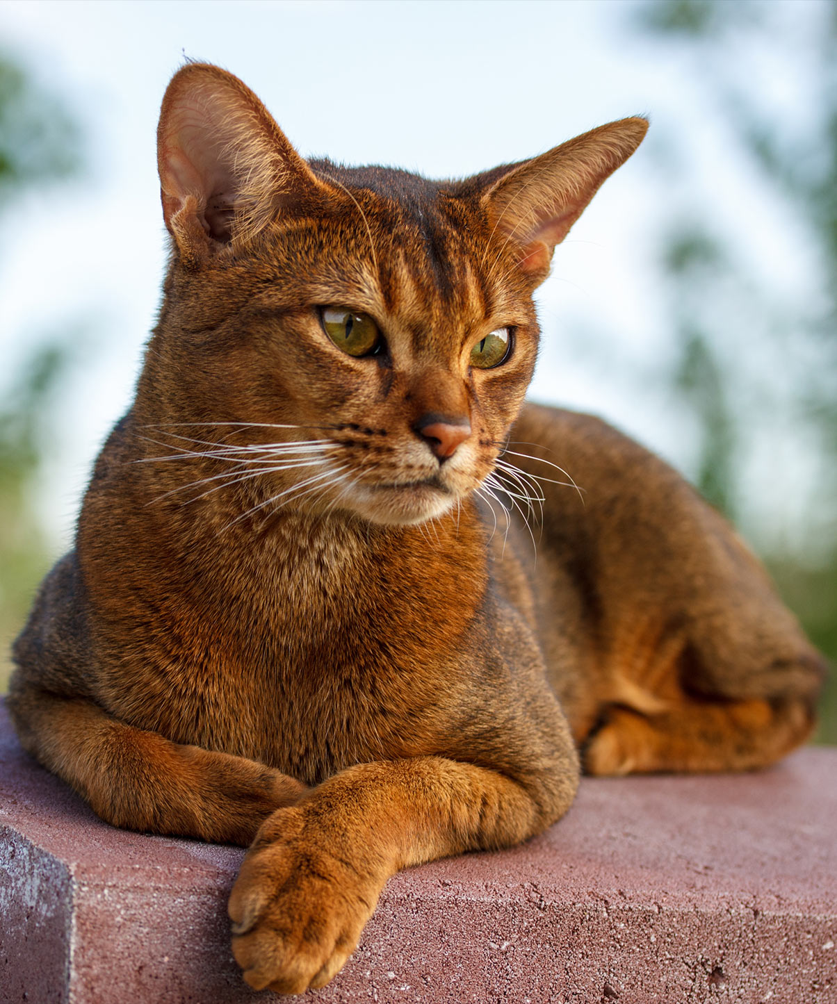 abyssinian cat names