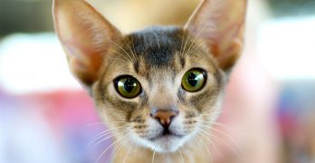 Abyssinian Cat Names – 115 Beautiful Ideas