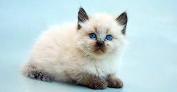 Balinese Cat Names – 125 Superb Suggestions
