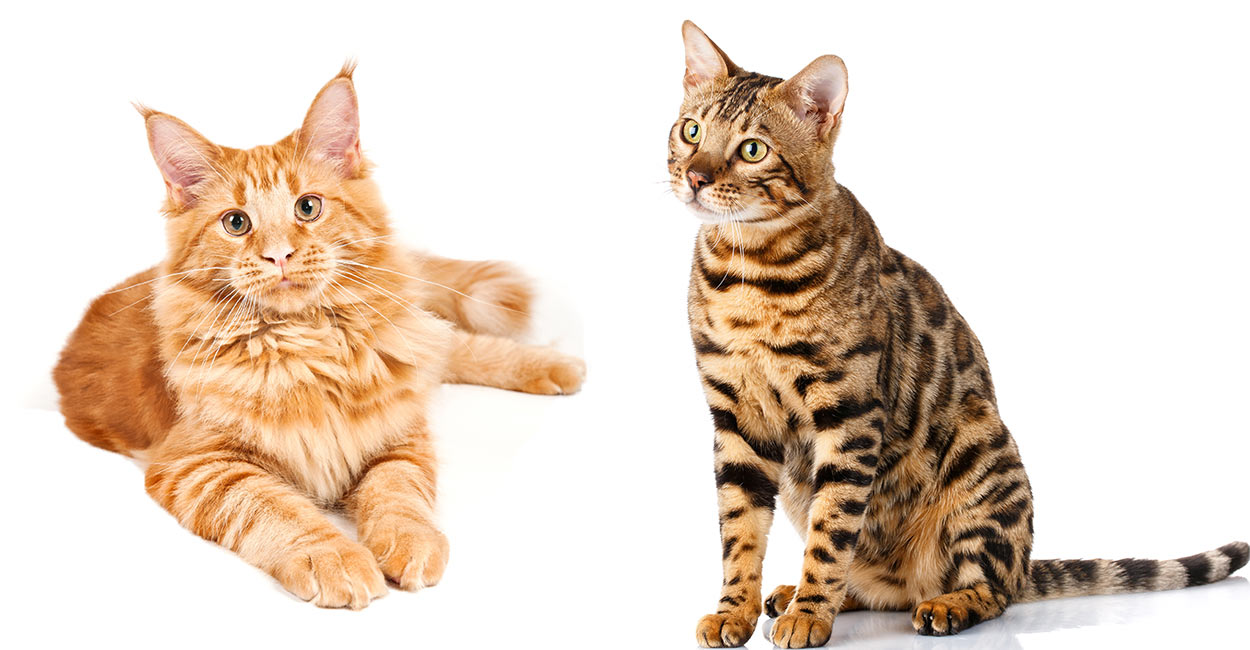 Bengal Maine Coon Mix