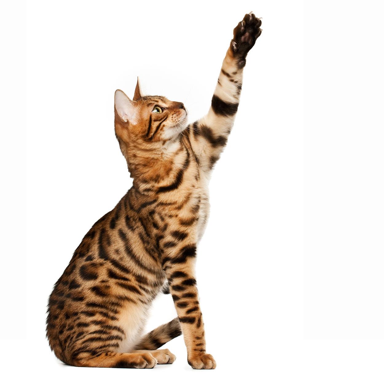 dog-like cat breeds bengal