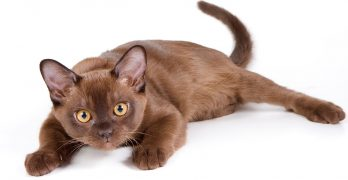 Burmese Cat Names