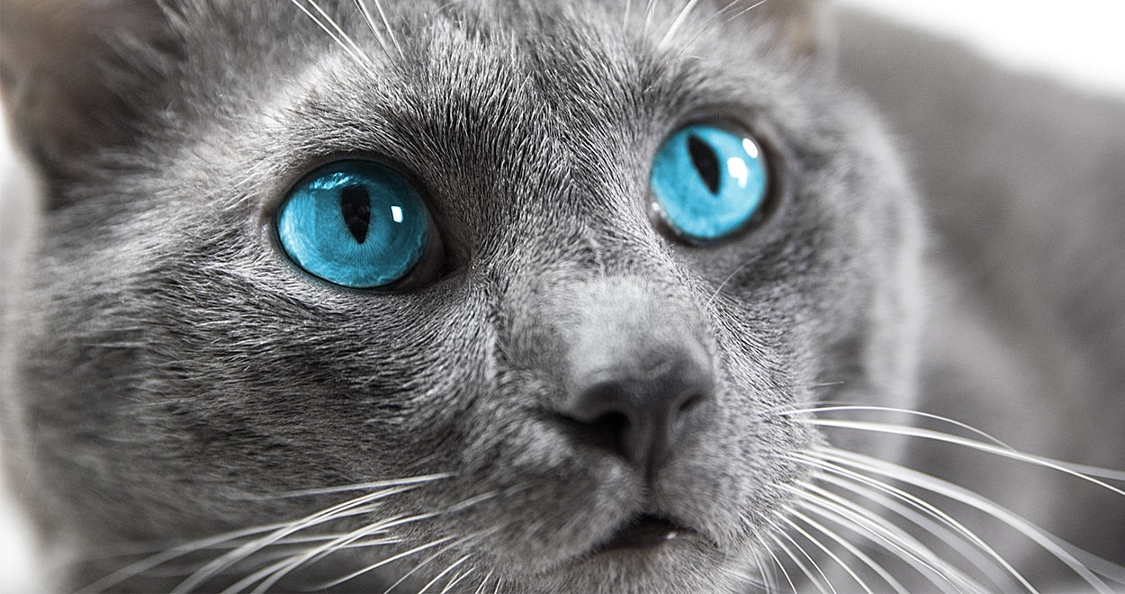Cats With Blue Eyes