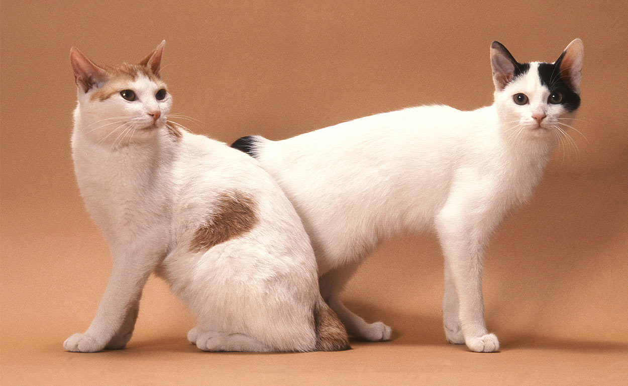 dog-like cat breeds - japanese bobtail