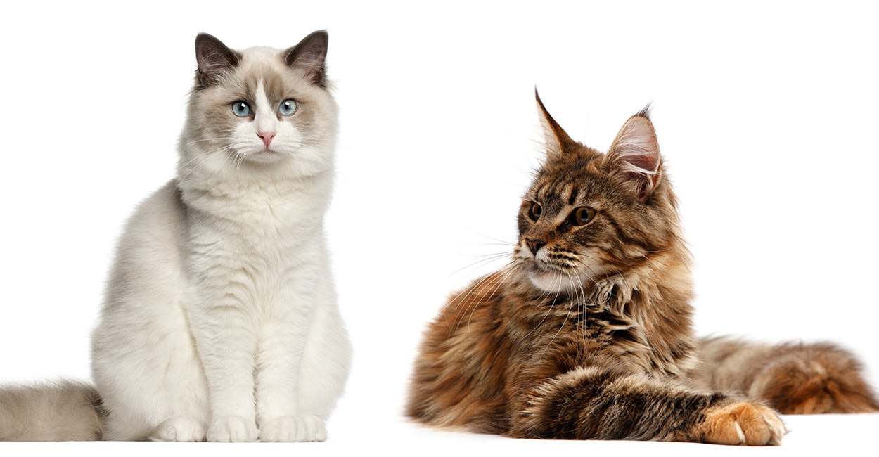 Maine Coon Cat Breeds Pictures