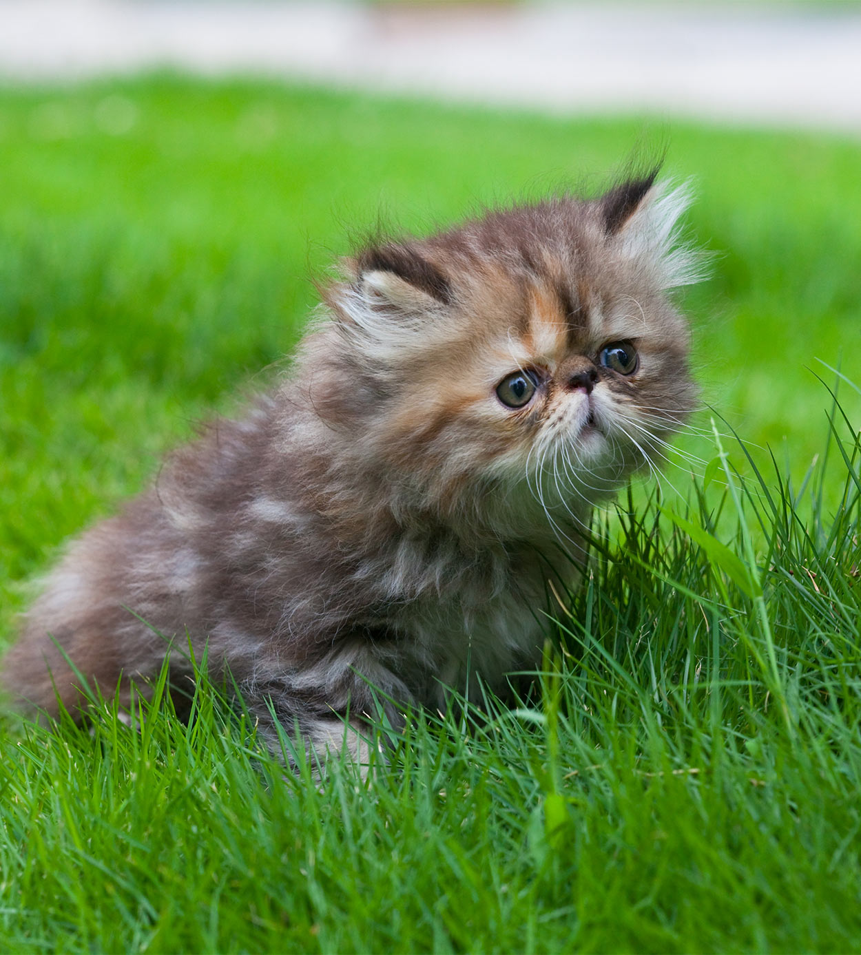 Persian Cat Names - Over 200 Gorgeous Ideas!