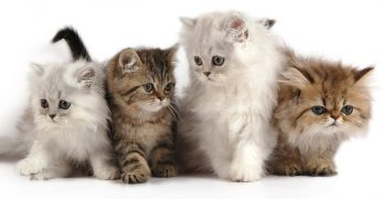 Persian Cat Names