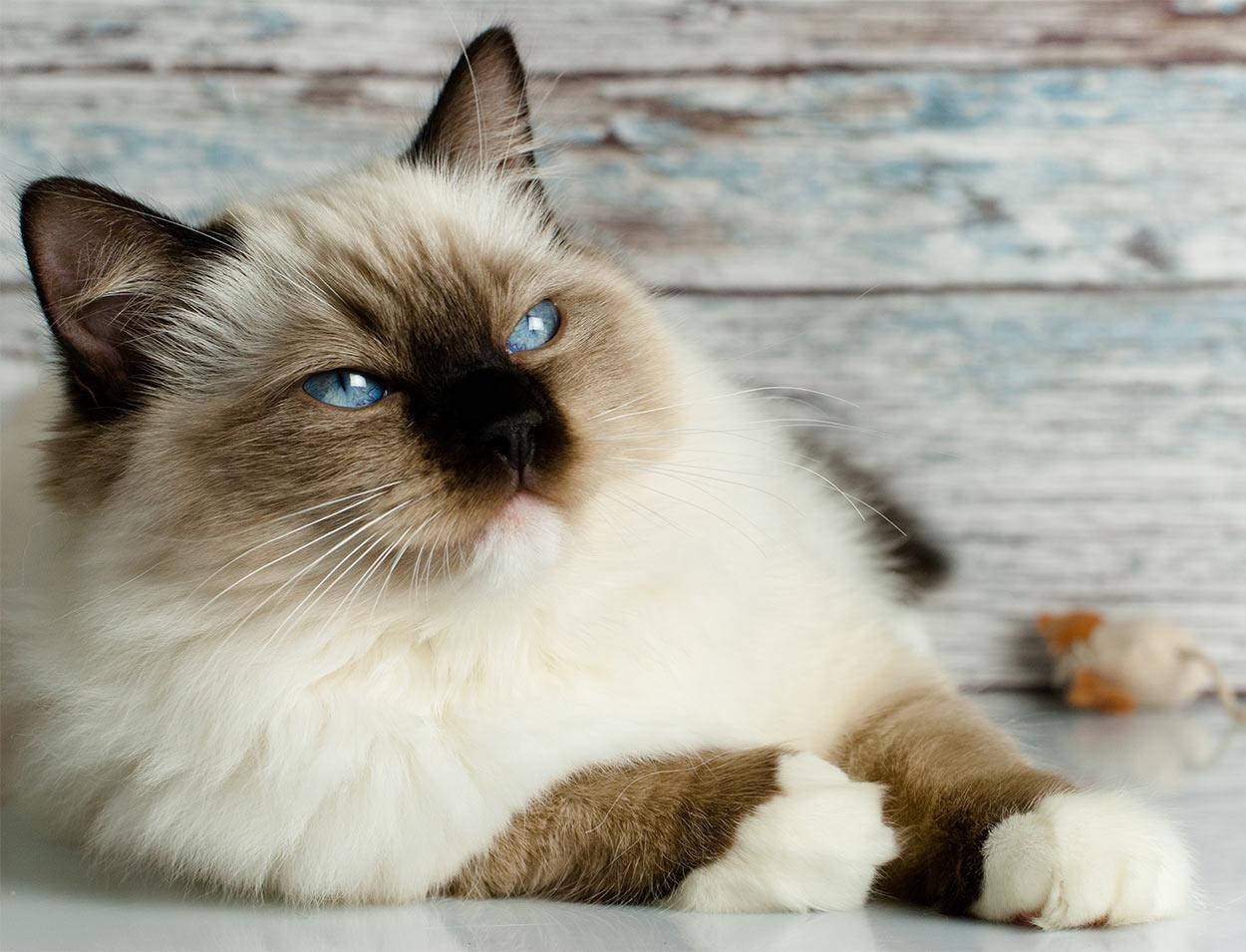 dog-like cat breeds - ragdoll