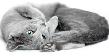 russian blue cat food