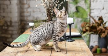 Savannah Cat Names – 120 Unusual Ideas