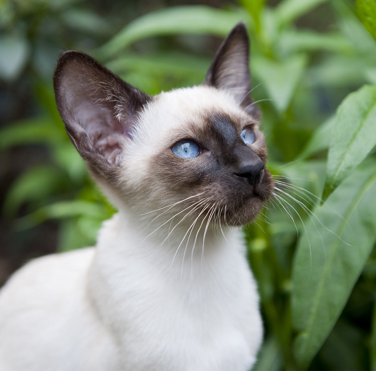 dog-like cat breeds - siamese