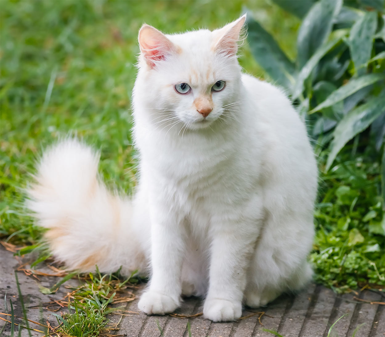 dog-like cat breeds - turkish van
