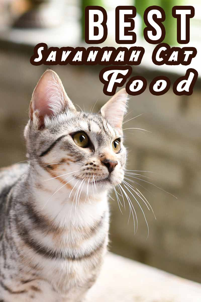 Best Savannah Cat Food - Finding the best food for your cat from TheHappyCatSite.com