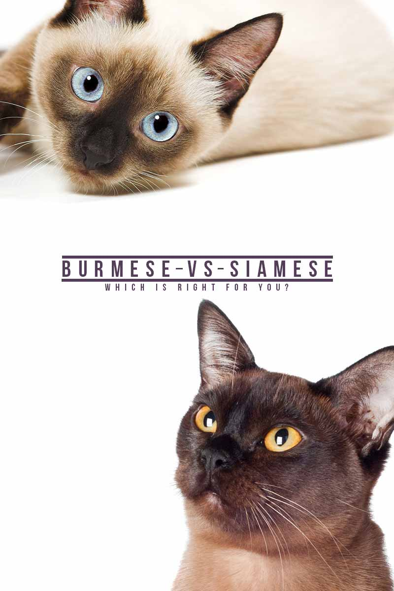 Burmese vs Siamese, which is right for you? - Cat breed reviews from TheHappyCatSite.com
