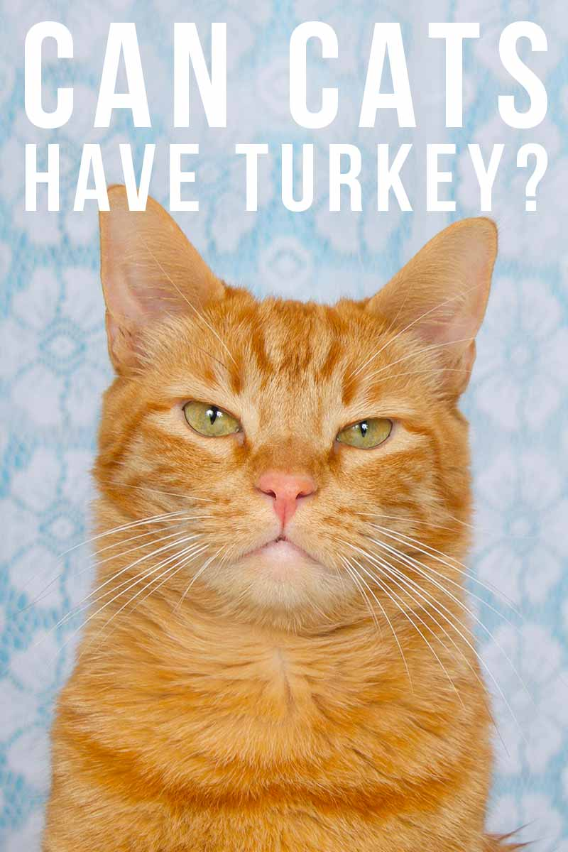 Can cats have turkey - Cat food and feeding advice.