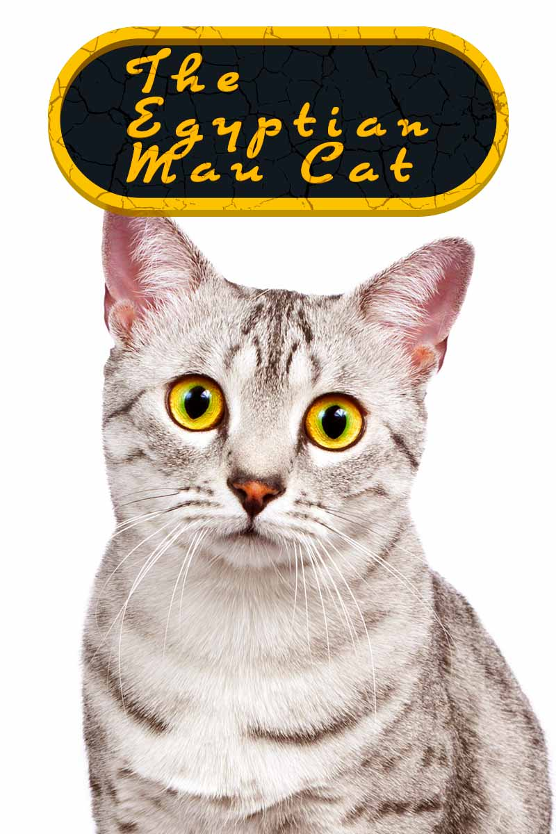 The Egyptian Mau Cat - Cat breed reviews from TheHappyCatSite.com