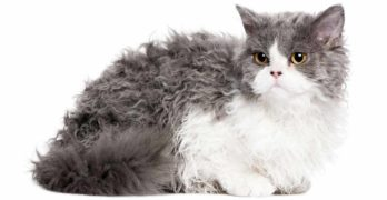 Selkirk Rex Cat Breed Information Center - A Complete Guide