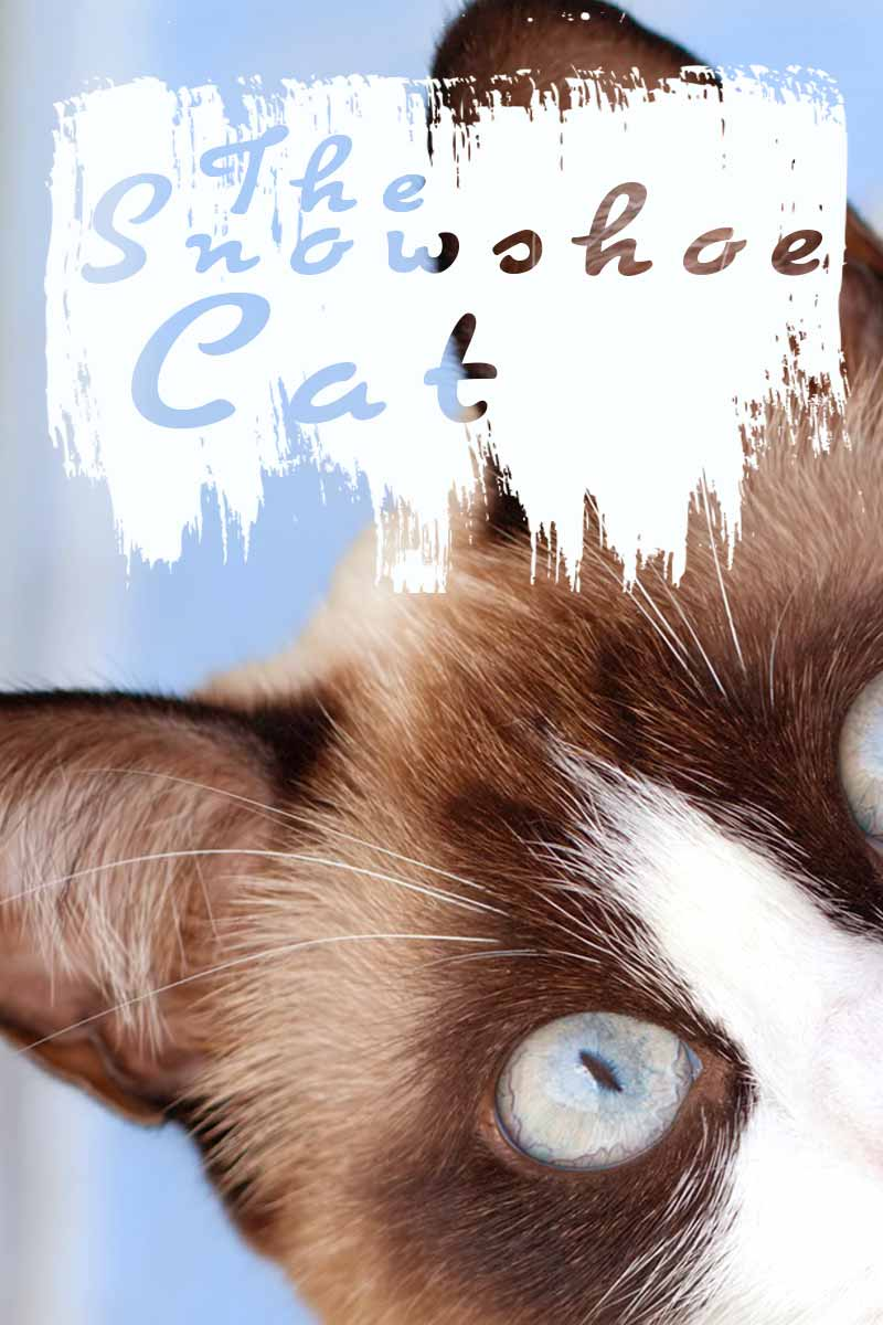 The Snowshoe Cat - Cat breed reviews from TheHappyCatSite.com
