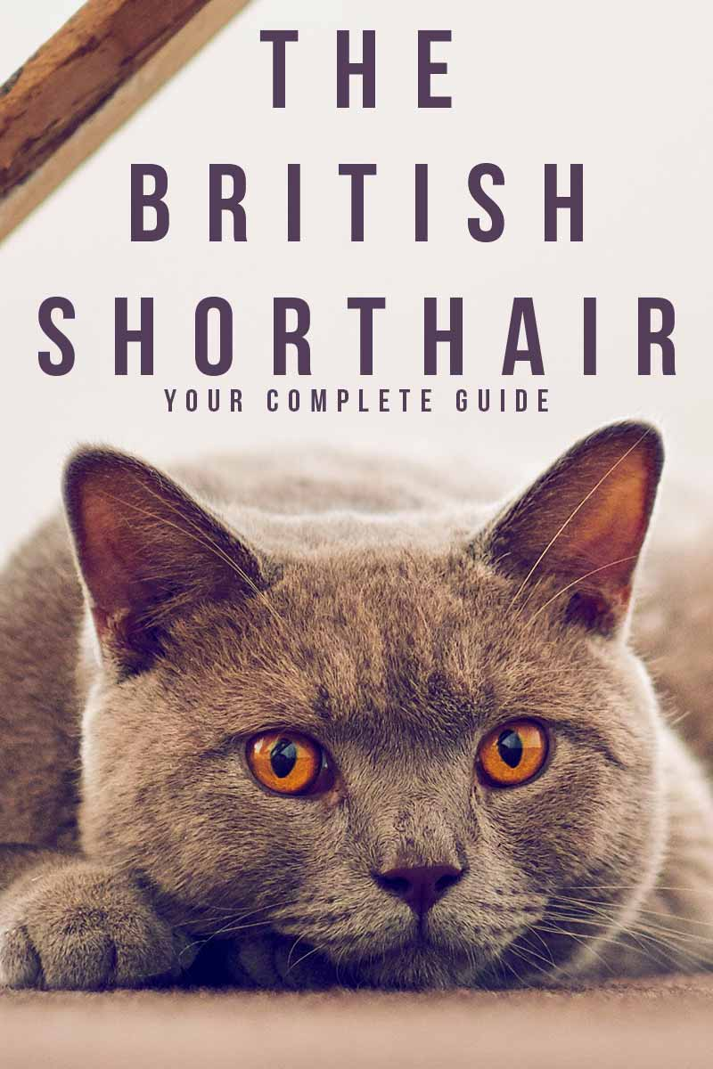 The British Shorthair your complete guide - Cat breed reviews from TheHappyCateSite.com