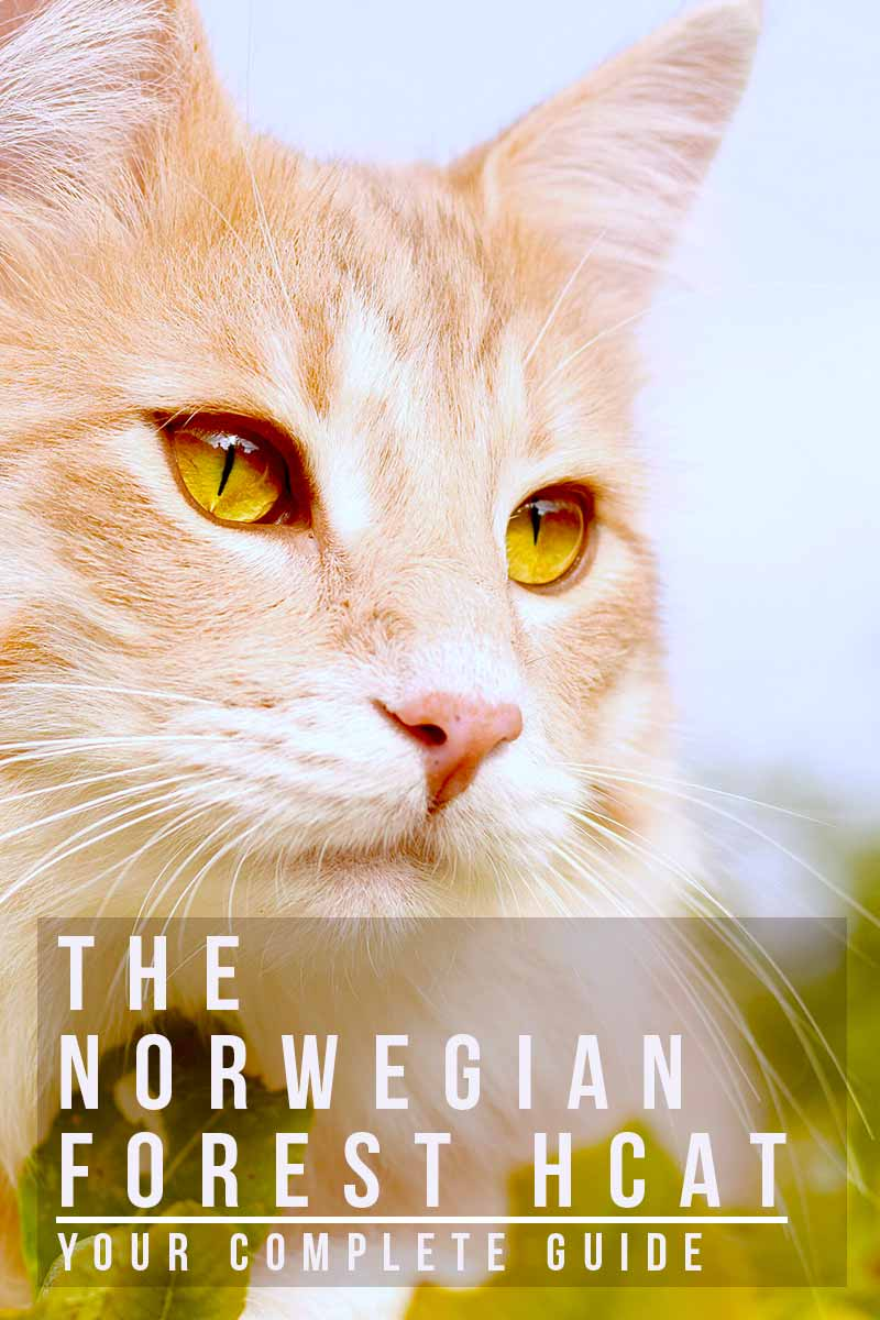 The Norwegian Forest Cat your complete guide - Cat breed reviews from TheHappyCatSite.com