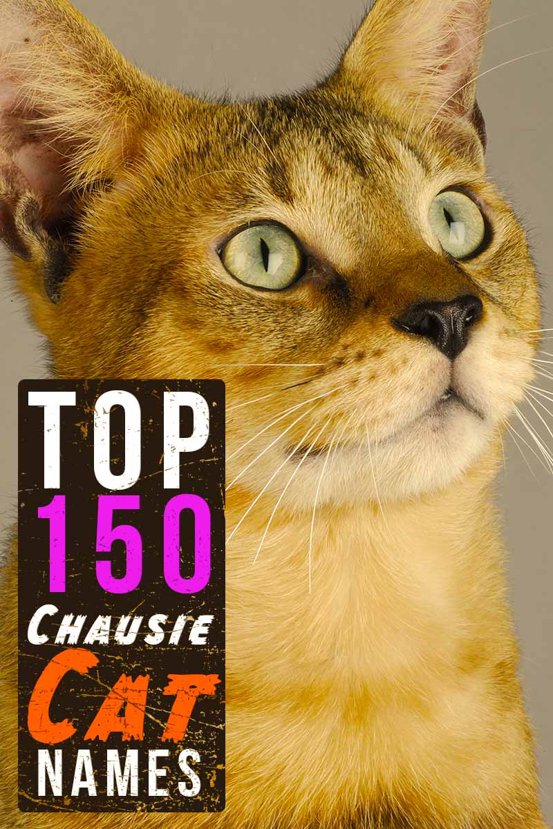 Top 150 Chausie cat names - Great names for your cat.
