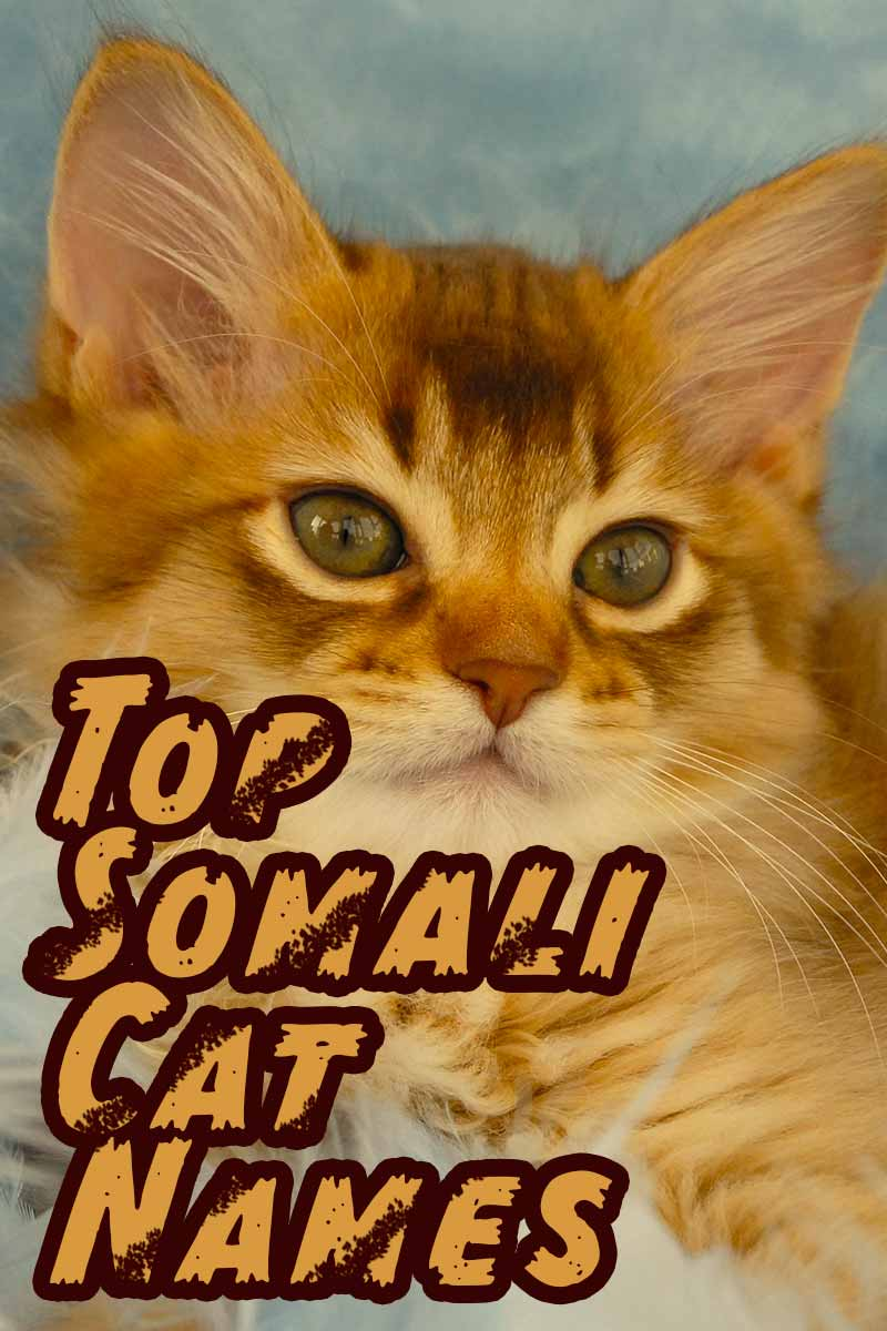 Top Somali Cat Names - Naming your cat