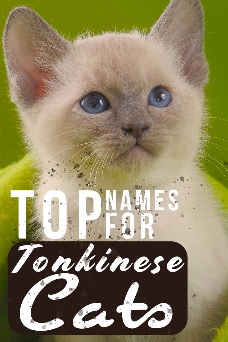 Top names for Tonkinese cats - Naming your cat.
