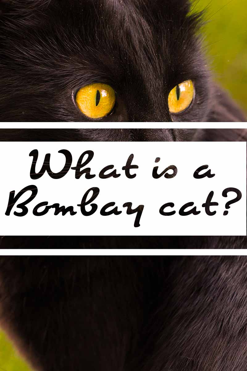 What is a Bombay cat? - Cat breed review.