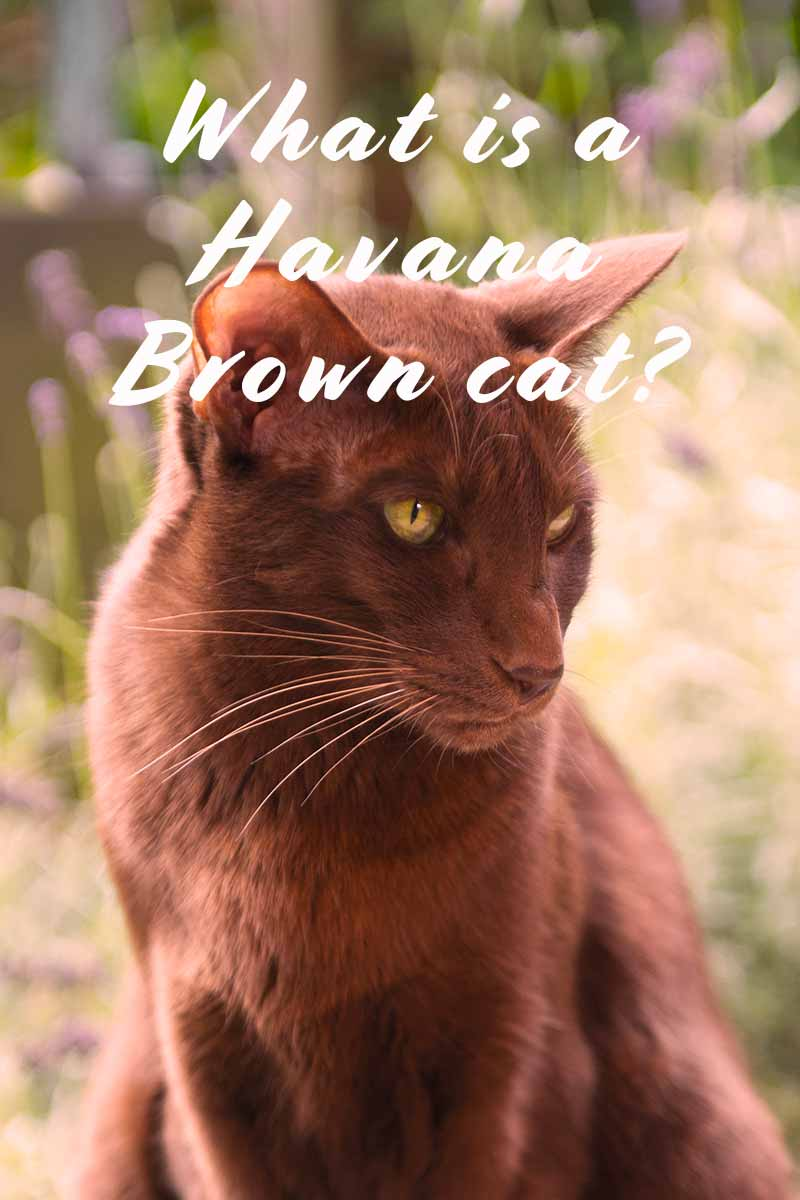 What is a Havana Brown cat? - Cat breed review.