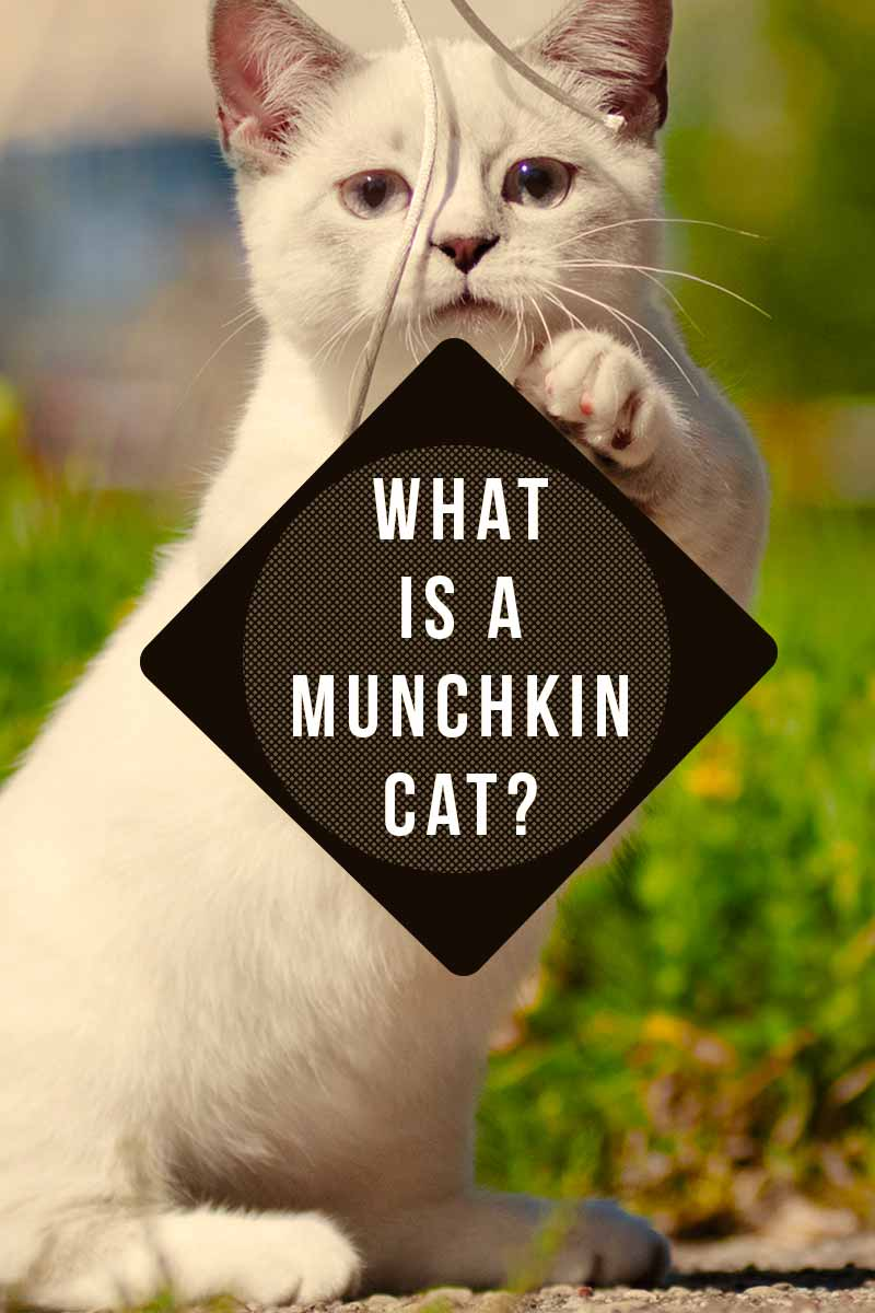 What is a Munchkin Cat? - Cat breed review.