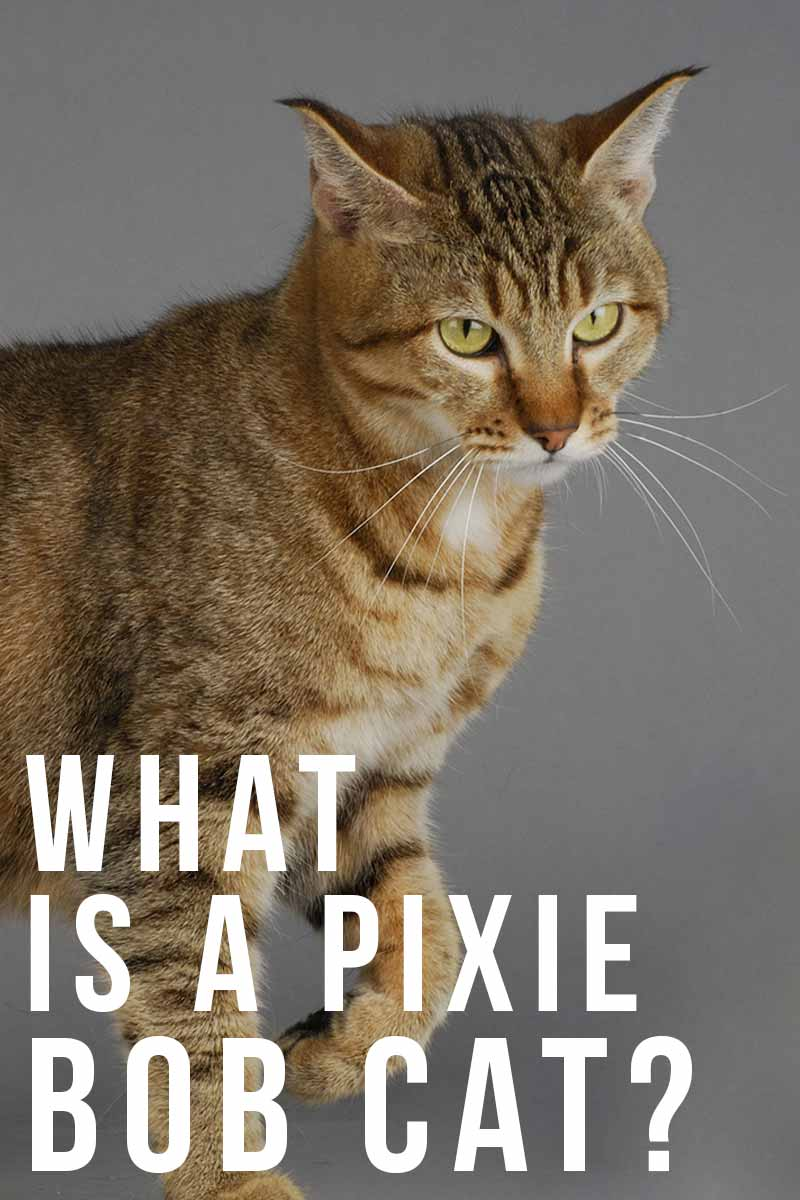 Pixie Bob Cat - A Comprehensive Guide from The Happy Cat Site