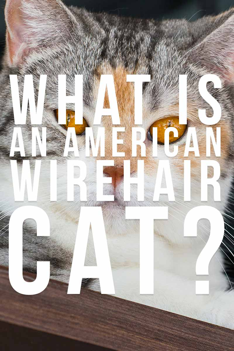 What is an American Wirehair cat? - Cat breed review.