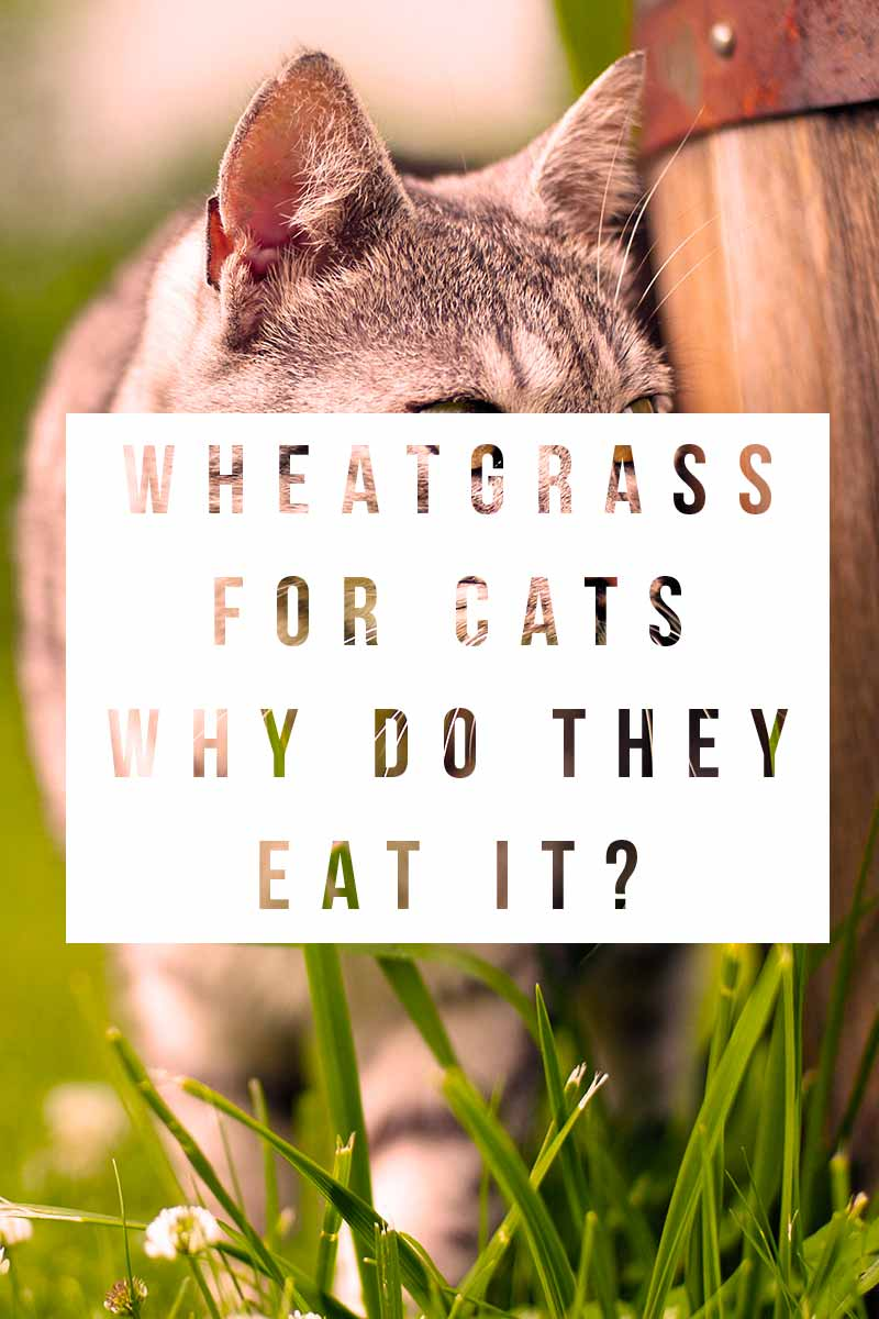 Wheatgrass For Cats Why Do They Eat It ? - Cat health & care information.