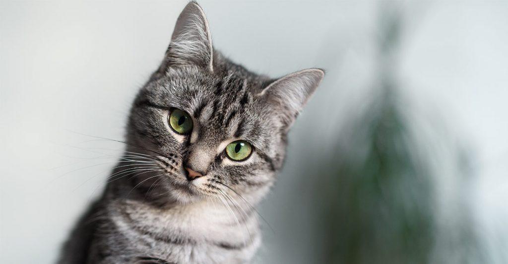 Cat Breeds The Happy Cat Site