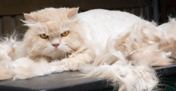 best brush for persian cats