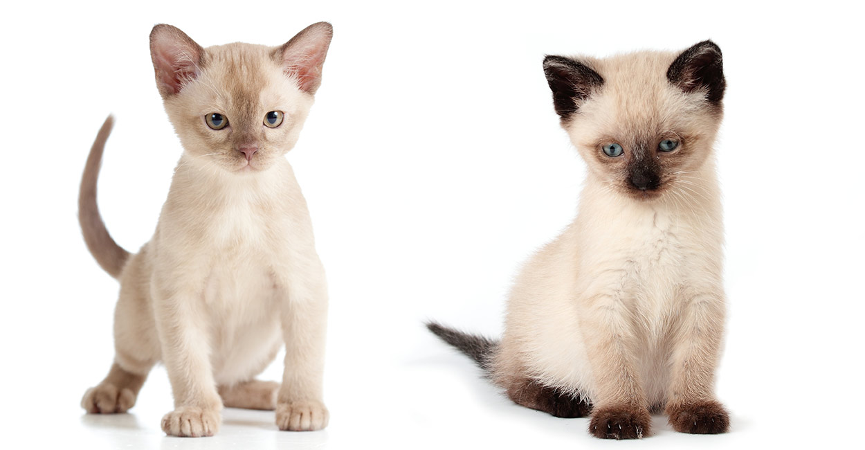 burmese vs siamese the happy cat site helps you choose