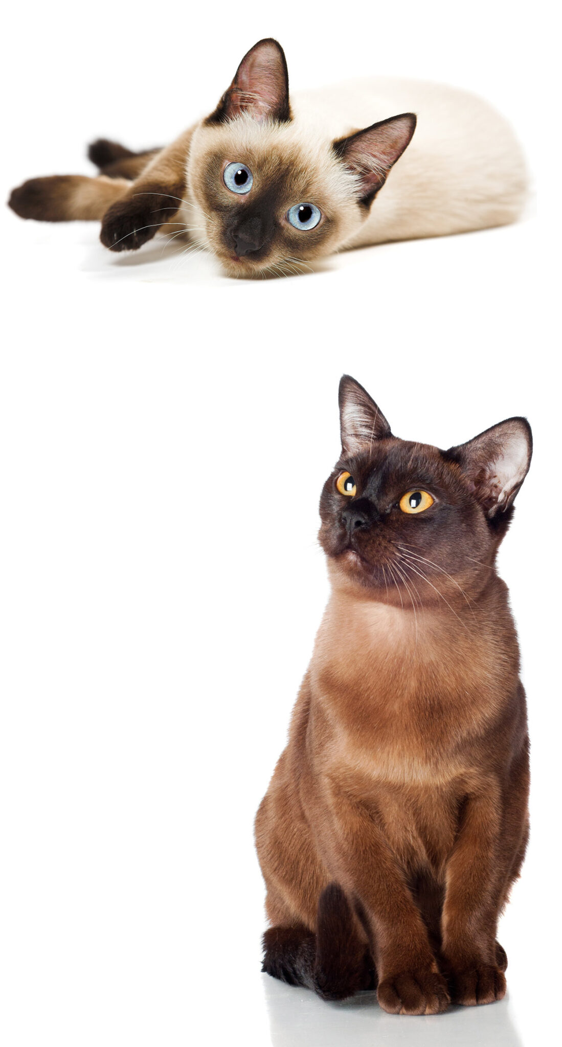 Burmese vs Siamese - The Happy Cat Site Helps You Choose